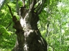 2007.06.02ケヤキの巨木