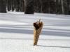 雪面に立つブナの枯れ葉
