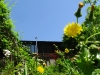 2008.06.03タンポポと山の家