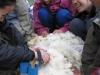 2008.04.26<羊の毛刈り>