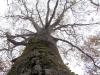 2007.04.21 ブナの巨木