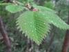 2009.6.13 ネコシデの葉